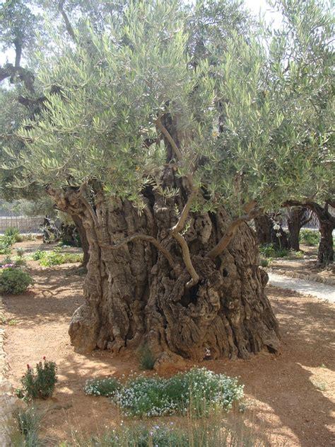 garden of gethsemane garden of gethsemane ages ago gardens