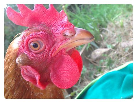 andalusian battery hen ex chickens omlet breed upload breeds