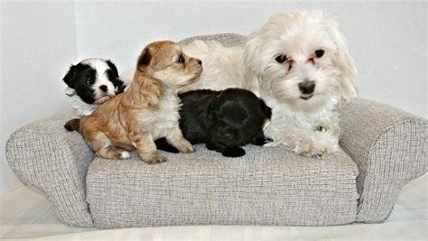 small breed designer dogs