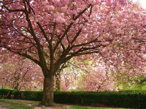 pink flowering cherry tree panoramio photo of pink flowering cherry blossom trees