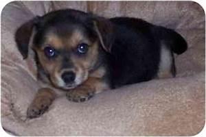 Pomeagle (Beagle Pomeranian Mix) Info, Puppies ...