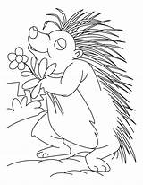 Porcupine Coloring Pages Printable Animal Sheets Loving Flower Template Sketch Lesson Cute Getcoloringpages sketch template