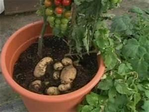 Rosen Selber Ziehen : arriva tomtato la pianta ibrida che produce pomodori e ~ Lizthompson.info Haus und Dekorationen