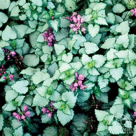 lamium maculatum orchid frost ground cover  shady