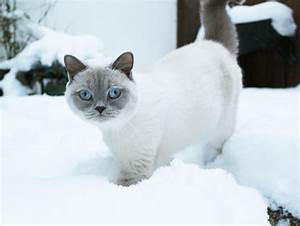 Lionel in Snow - British Shorthair cat (white with lilac p ...
