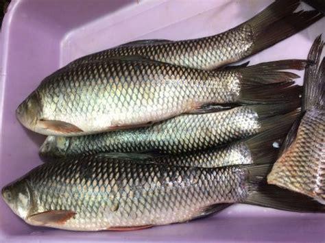 fish called  hindi quora