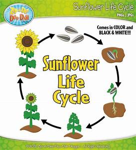 Sunflower Life Cycle Clipart Set Includes By