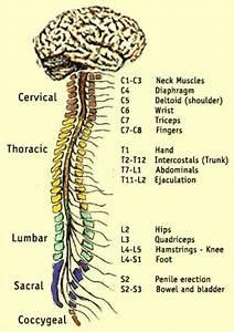 72 Best Images About Nerves  U0026 Dermatomes On Pinterest