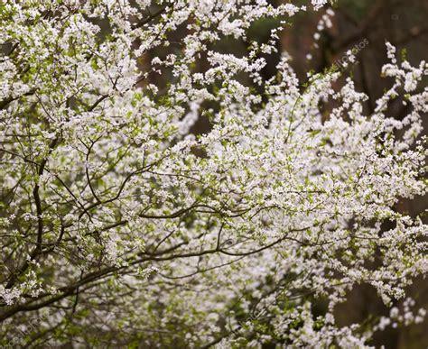 white flowering plum tree top 28 white flowering plum tree princess kay flowering plum ryan h flickr 1000 images