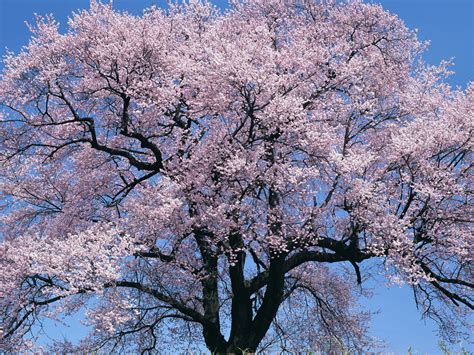 blossoming cherry trees wallpapers cherry tree