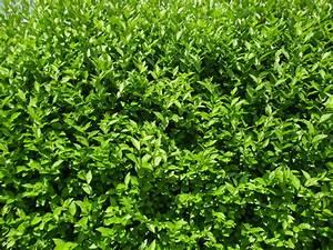 Grüner Sichtschutz Garten : welche heckenpflanze ist f r ihren garten die richtige ~ Markanthonyermac.com Haus und Dekorationen