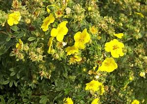 Busch Mit Gelben Blüten : dauerbl hende potentilla hecke fingerstrauch gelbe bl ten ~ Frokenaadalensverden.com Haus und Dekorationen