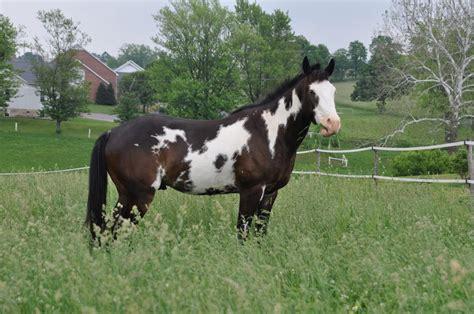 caballo paint horse imagenes  fotos