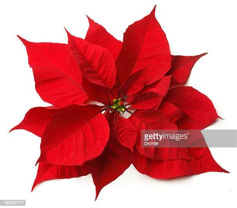 poinsettia   premium high res pictures getty images