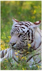 White Tiger HD Wallpaper | Background Image | 2560x1600 ...
