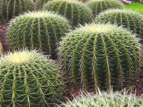 pics of cacti file singapore botanic gardens cactus garden 2 jpg wikipedia
