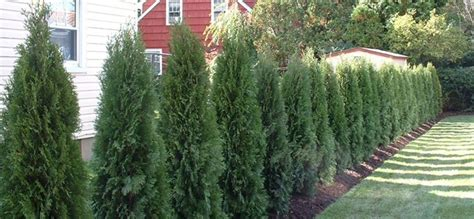 all about privacy trees fast growing trees