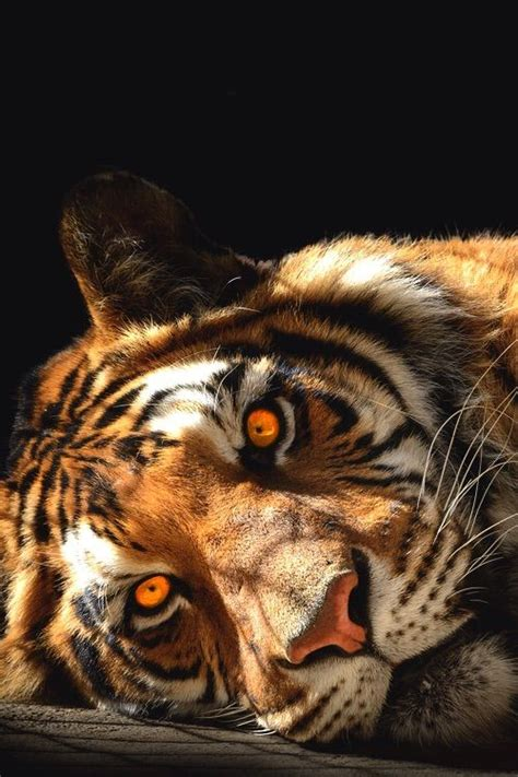 Tiger Beautiful Eyes Tigers Pinterest Animaux