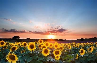 Sunflower Sunset Landscape Summer Skies Painting Sky