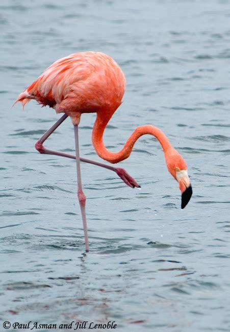 american flamingo species information