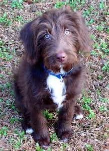 chocolate lab german shorthaired mixed breed dog breeds