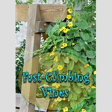 Fastclimbing Vines For Your Garden  Quiet Corner