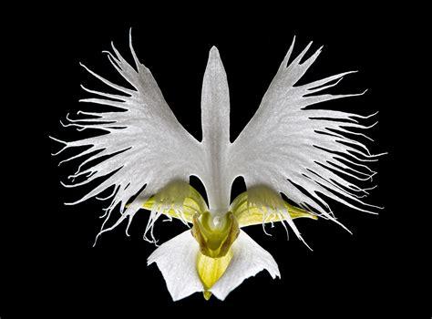 beautiful white egret orchid weneedfun