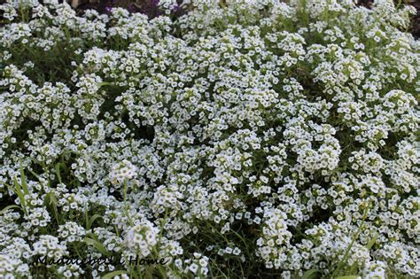 ground cover with white flowers white flower heaven