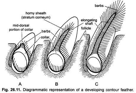 external features  pigeon  diagram chordata