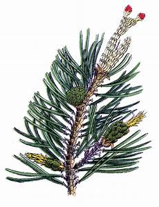 Vintage Botanical Graphic - Pine Branch & Cone #2 - The ...