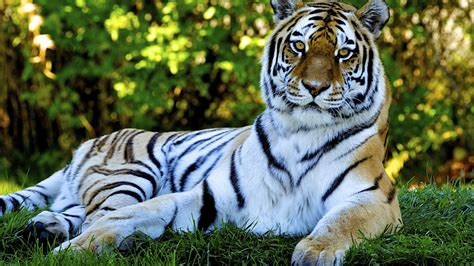 Free Animated Animal Wallpapers - hd wallpaper of tiger
