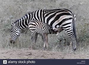 Plains Zebra Mother Foal Quagga Stock Photos & Plains ...