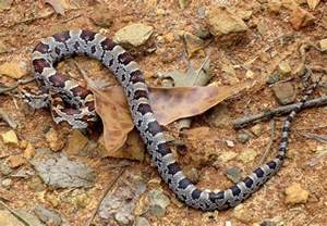 Baby Copperhead Snake Markings