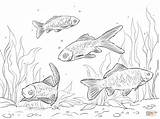 Coloring Pages Goldfish Comet Crucian Template sketch template