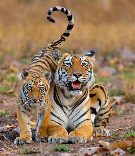 Beautiful Wildlife Tiger With Her Cub Nilanjan