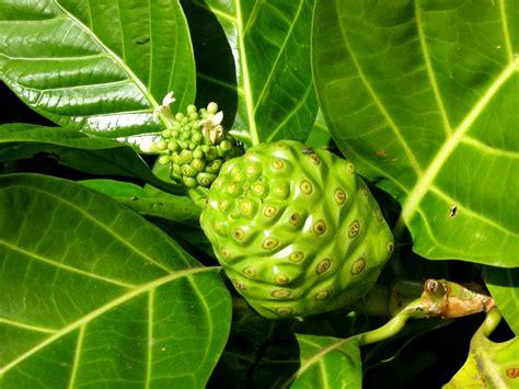 noni plant fruit  flower morinda citrifolia