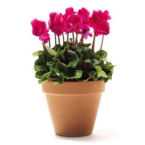 vaso cotto ciclamino con vaso in cotto vaso 216 16cm vendita piante