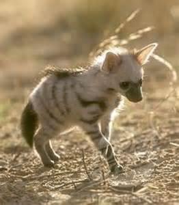 Aardwolf Puppy