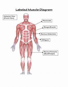 Muscular System Drawing At Getdrawings