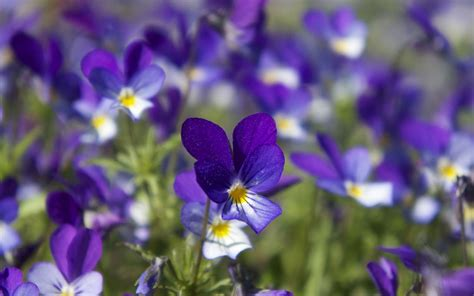 mysterious violet hd wallpaper  flower wallpapers