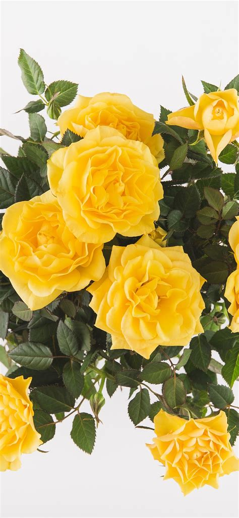 wallpaper yellow roses bouquet white background