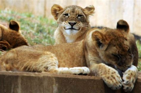 Happy Lioness Funny