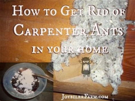 How To Get Rid Of Ants Inside The House by Boric Acid Bomb For Carpenter Ants Archives Joybilee Farm