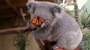Una mariposa molesta a un bebé koala en el video más lindo ...