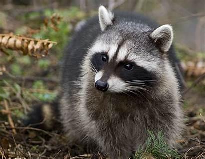Raccoon Wallpapers Animals Fun