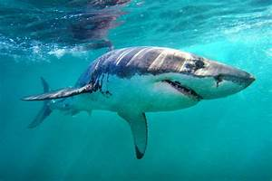 Top 10 Most Interesting Facts About Sharks Pei Magazine