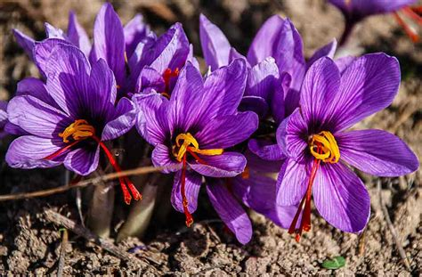 saffron cultivation  india discover   grow saffron