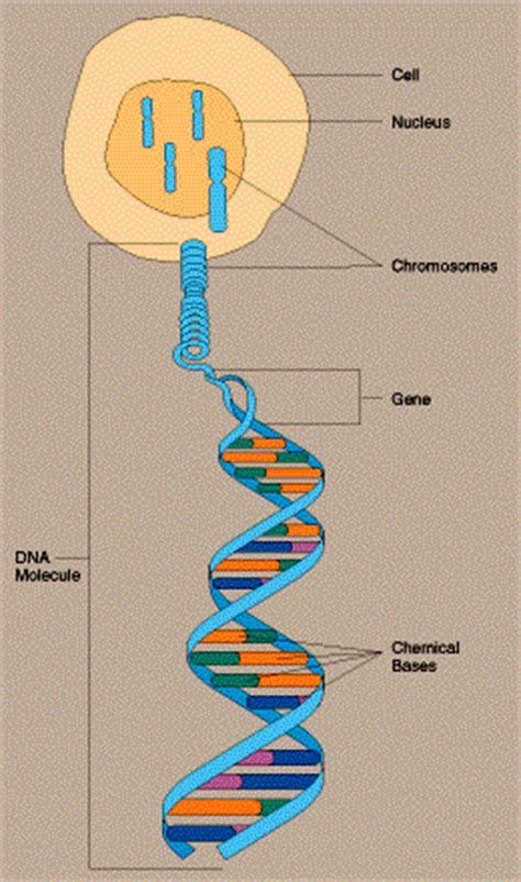 Genetic Diagram Gene Dna by Chromosomes Are Dna Wrapped Around Proteins To Form An X