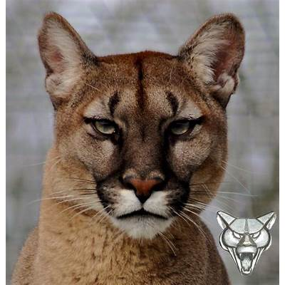 1000  images about Puma on PinterestMountain lion