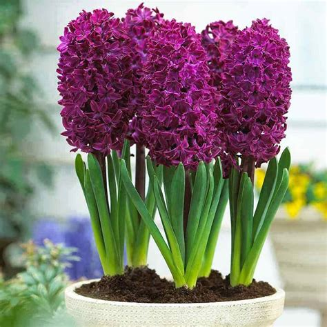 how to grow hyacinth the hyacinth mixture is gorgeous